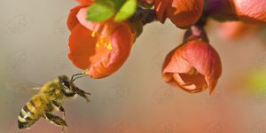 شگفتی زنبور عسل و عسل طبیعی